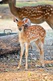 Sika deer cub Stock Photos