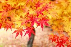 Japan-Herbst rotes Ahornblatt auf dem Boden stockfoto
