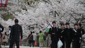 Japan Hikone Castle Sakura cherry blossom season stock video