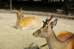 Japan hjortar på den Miyajima ön arkivfoto
