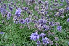 Japan Hokkaido Farm Lavender Flowers. Upclose royalty free stock image