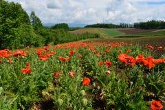 Japan Hokkaido Flower Field. Japan Hokkaido Farm Red Flower Field stock photography