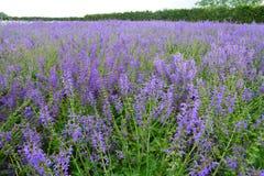 Japan Hokkaido Lavender Field Stock Photography