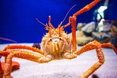 Japan jätte- spindelkrabba Arkivbilder