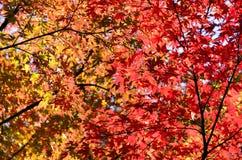 Japan jesieni liście. Obrazy Stock