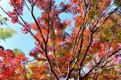 Japan jesieni liście. Obrazy Royalty Free