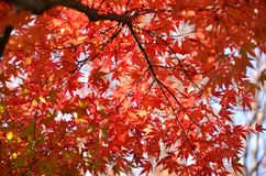 Japan jesieni liście. Obraz Stock