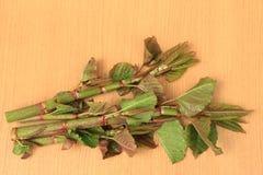 Japan knotweed Fallopia japonica Arkivfoton