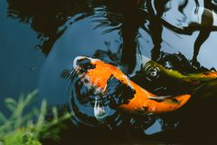 Japan Koi Carp fish vintage tone. Japan Koi Carp fish in Pond vintage colortone stock photo