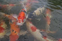 Japan Koi Fish i dammet Fotografering för Bildbyråer