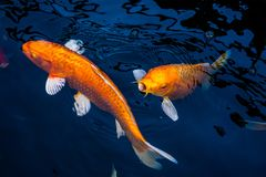 Free Japan Koi Fish Swimming In A Water Garden,fancy Carp Fish,koi Fishes,Koi Fish Swim In Pond.Isolate Background Is Black.Fancy Carp Royalty Free Stock Images - 167518709