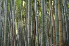 Japan, Kyoto, Arashiyama, view of the bamboo forest stock images