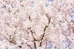 Japan Kyoto Sakura Cherry Blossom Detail Royalty-vrije Stock Foto's
