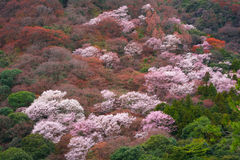 Japan Kyoto Sakura Cherry Blossom Hill Forest royaltyfri fotografi