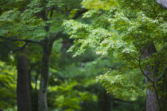 Japan Kyoto Tofuku-ji Temple Maple trees royalty free stock image