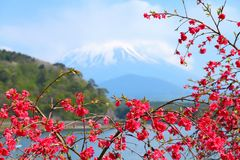 Japan - umetreeblomning Royaltyfri Bild