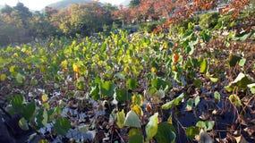 Japan Lotus Pond Stock Photos