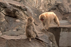 Japan macaques, Tokyo, Japan royalty free stock photo