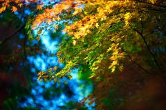 Japan Maple 04 Stock Photography