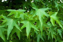 Japan maple. Green leafes of japan maple stock photo