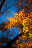Japan Maple Kyoto 01 Royalty Free Stock Image