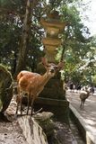 Japan, Nara located on the island of Honshū, the famous and sociable deer of Nara Stock Photography