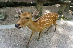Japan, Nara located on the island of Honshū, the famous and sociable deer of Nara Royalty Free Stock Image