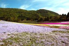 Japan. Phlox subulata flowers at Hitsujiyama Park in Saitama Prefecture, Japan Stock Image