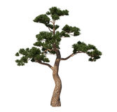 Japan pin tree Stock Photo