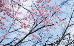 Japan pink cherry blossoms Royalty Free Stock Photos