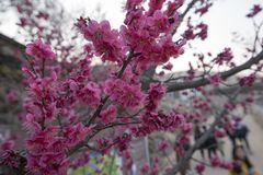 Japenese pink plum blooming. Japan pink plum blossom flower macro closeup Royalty Free Stock Image