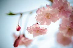 Japan Pink Sakura 04 Royalty Free Stock Image