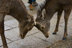 Japan-Reise Nara Park April 2018 lizenzfreies stockbild