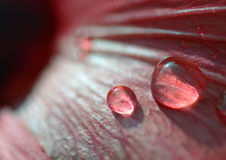 Japan rose with water drops. Two water drops Stock Photo