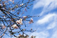 Japan's Cherry Blossom (Sakura) with blue sky clouds background Stock Photos