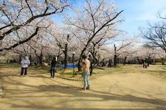 Japan`s cherry blossom season Stock Photo