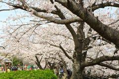 Japan`s cherry blossom season Royalty Free Stock Photography