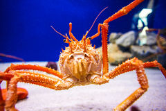 Japan's giant spider crab Stock Images