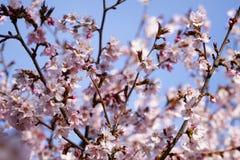 Japan sakura cherry blossom Stock Photo