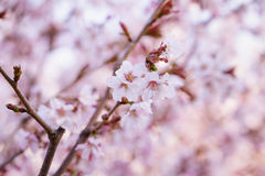 Japan sakura cherry blossom Stock Photography
