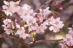 Japan sakura cherry blossom Royalty Free Stock Image