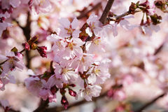 Japan sakura cherry blossom Stock Photos