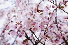 Japan sakura cherry blossom Royalty Free Stock Photos