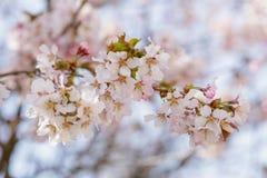 Japan sakura cherry blossom Royalty Free Stock Photo
