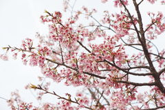 Japan Sakura. In Japan, cherry blossoms symbolize clouds due to their nature of blooming en masse, besides being an enduring metaphor for the ephemeral nature of royalty free stock photography