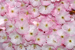 Japan sakura - floral background Royalty Free Stock Photos