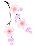 Japan sakura, körsbärsröd blomning Royaltyfri Bild