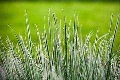 Japan sedge Royalty Free Stock Images