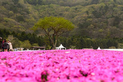 Japan Shibazakura festival Arkivfoto