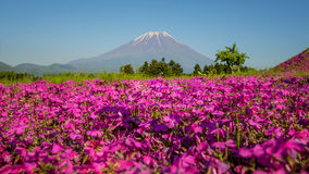 Japan Shibazakura Festival with the field of pink moss of Sakura or cherry blossom with Mountain Fuji in background stock photography